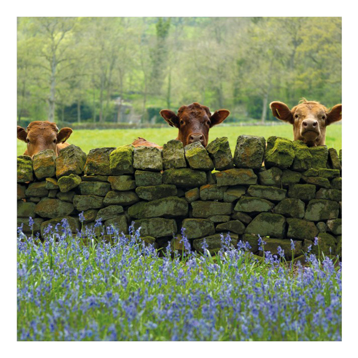 BBC Country File – Cattle and Bluebells Greeting Card