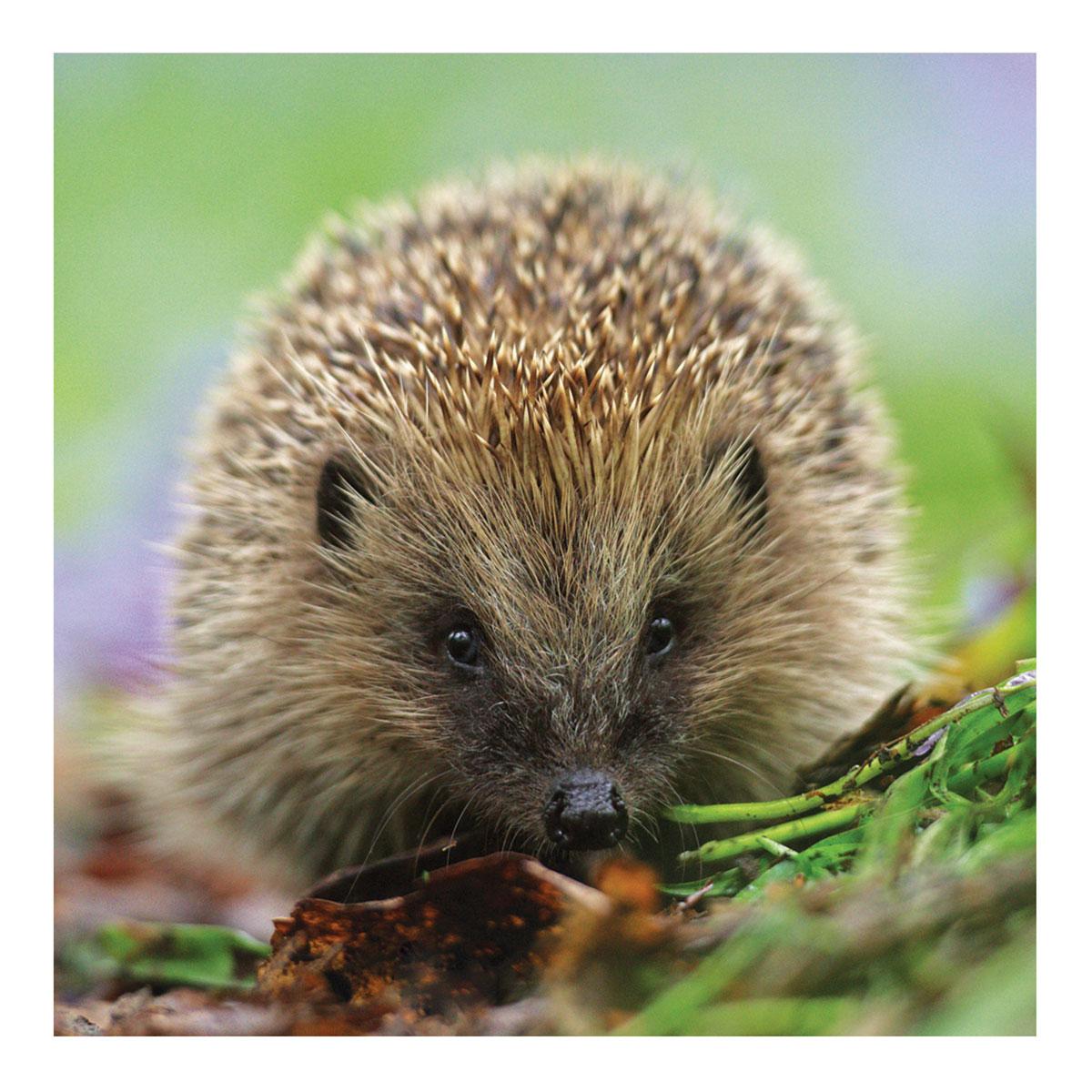 BBC Springwatch – Hedgehog Greeting Card